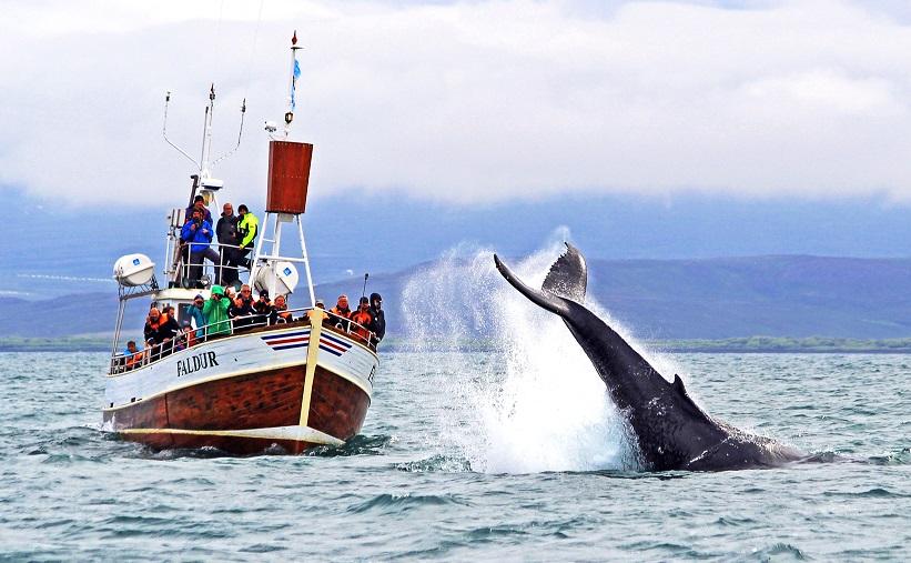 pozorovani-velryb-husavik