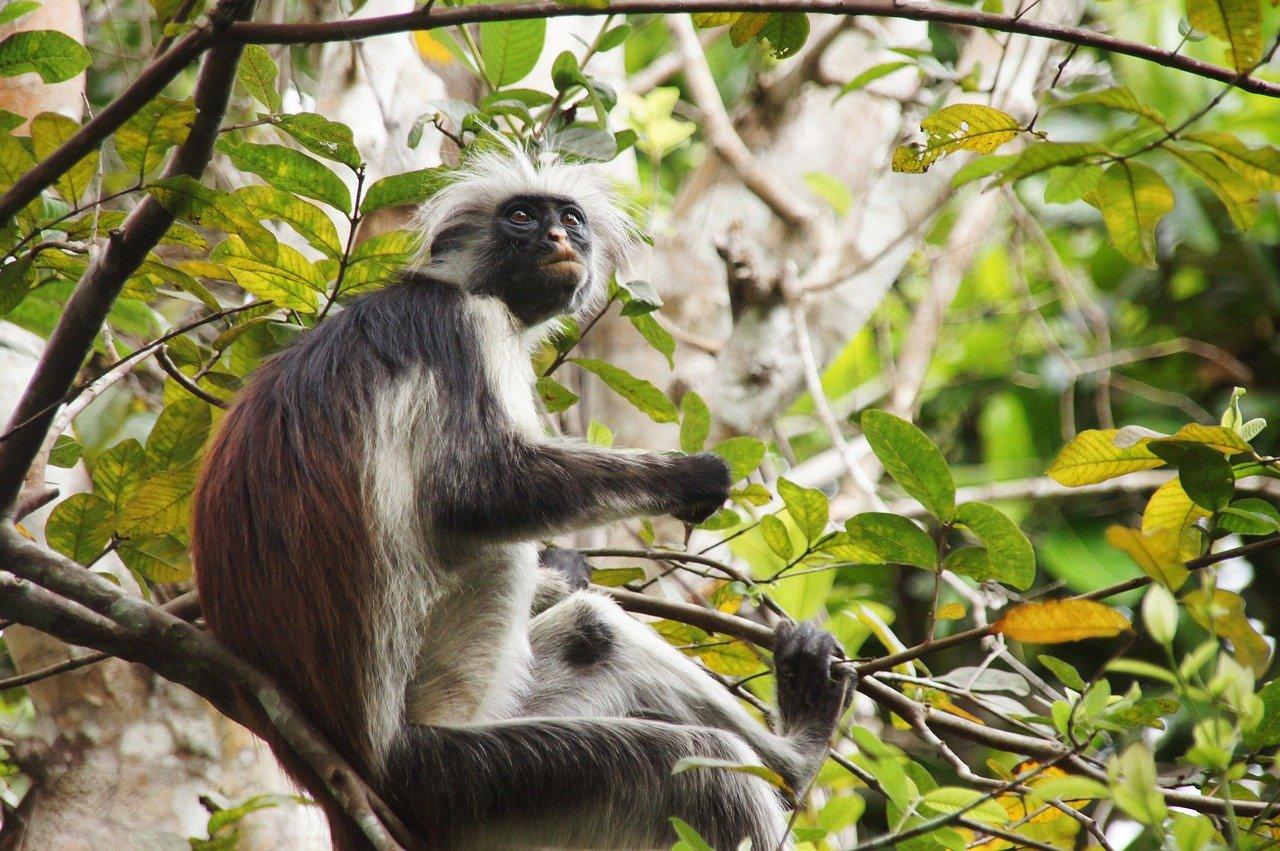 zanzibar-opice